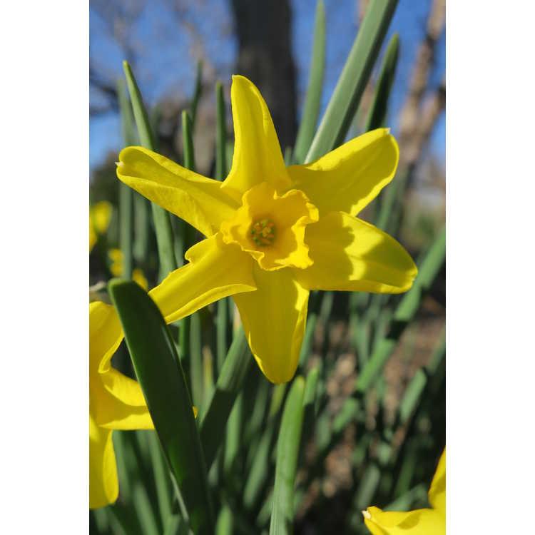 Narcissus 'Hathor' - jonquilla daffodil
