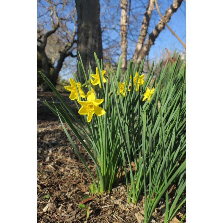 Narcissus Hathor