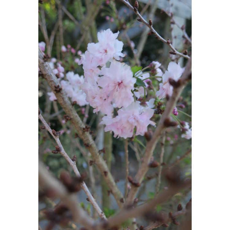 Prunus incisa 'Rinpo'