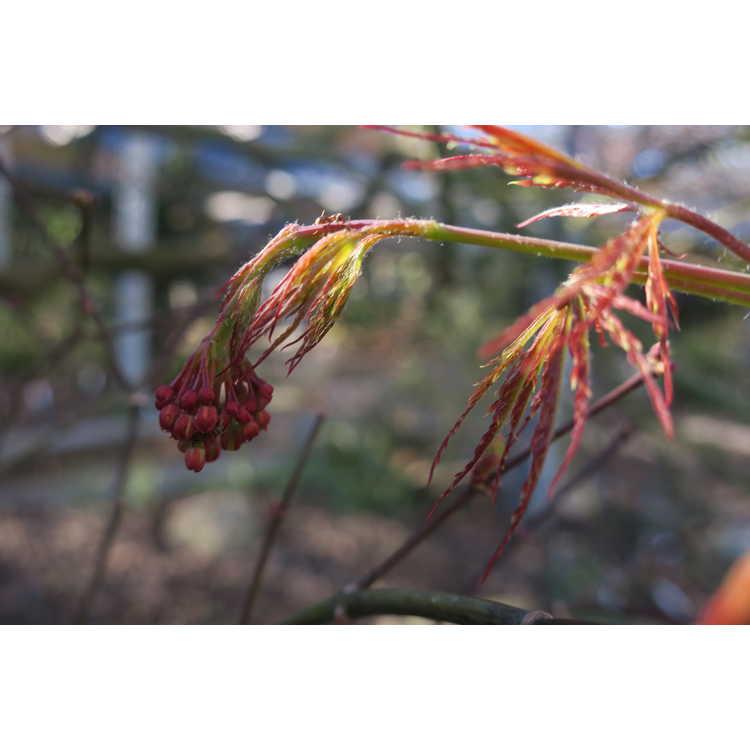 Acer palmatum Pendulum Julian