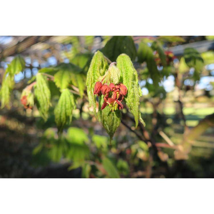 Acer japonicum 'Vitifolium' - full moon maple