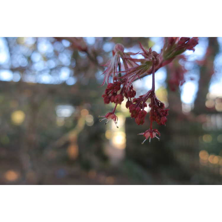 Acer palmatum 'Oregon Sunset' - red lace-leaf Japanese maple