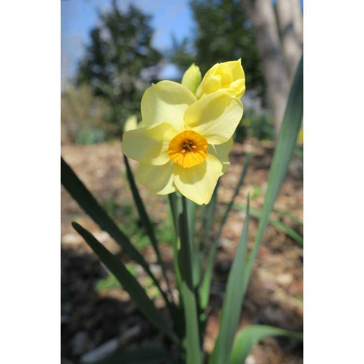 Narcissus 'Halvose' - tazetta daffodil