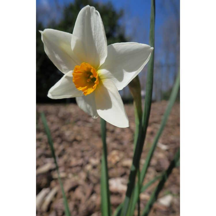 Narcissus 'Early Splendour' - tazetta daffodil