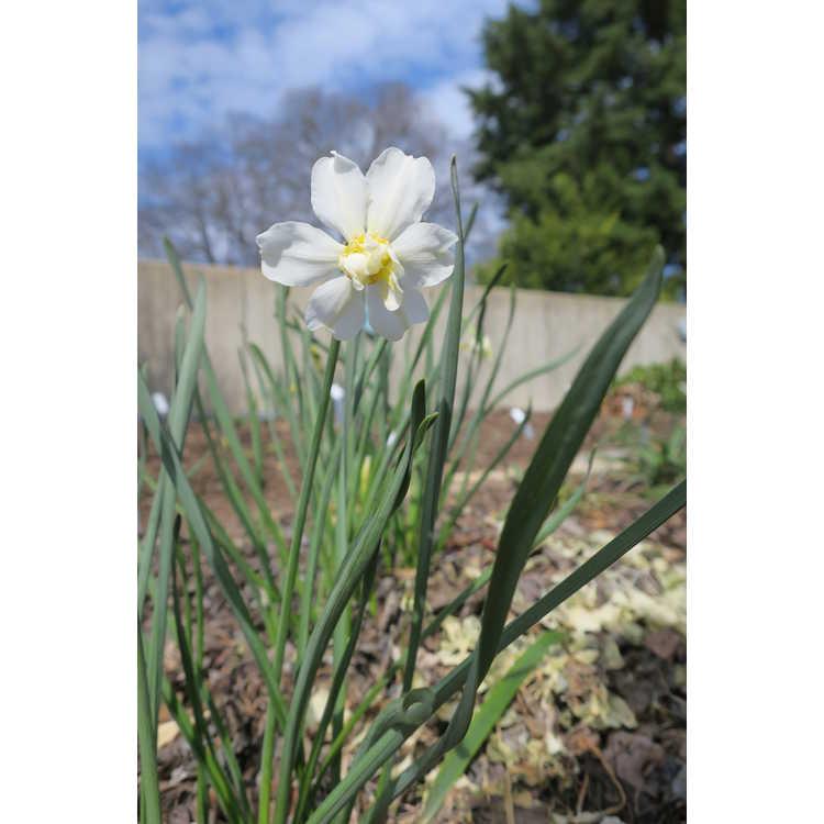 Narcissus 'Daphne'