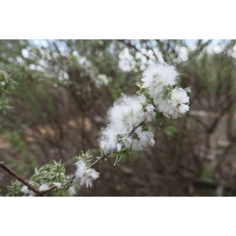 Salix humilis var. tristis