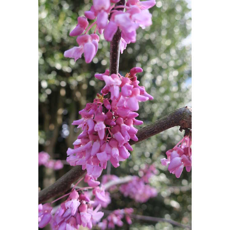 Cercis canadensis 'Alley Cat' - variegated redbud