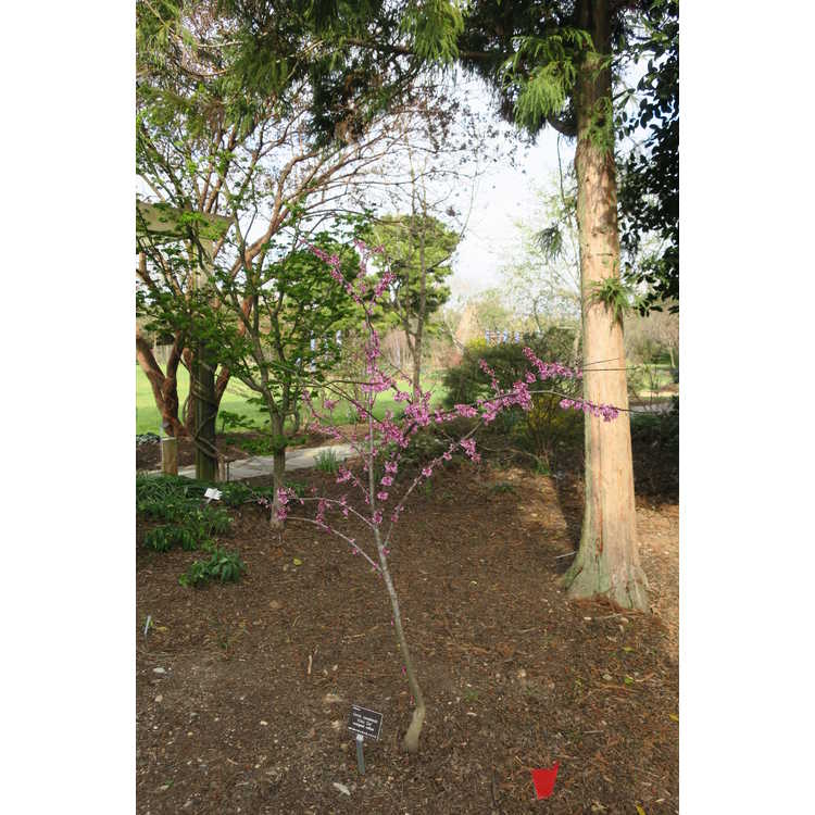 Cercis canadensis Alley Cat