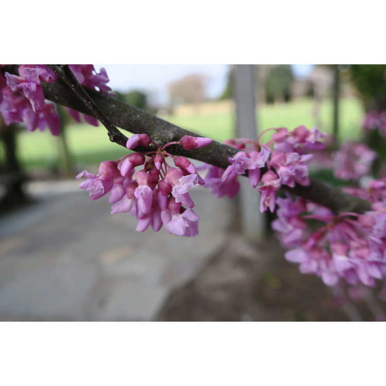 Cercis canadensis 'Alley Cat'