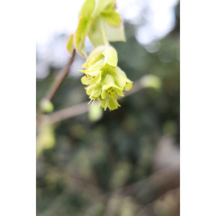 Corylopsis spicata Golden Spring