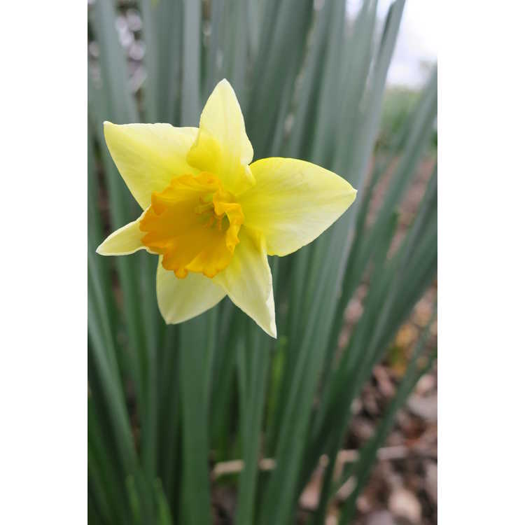 Narcissus 'New-Baby'