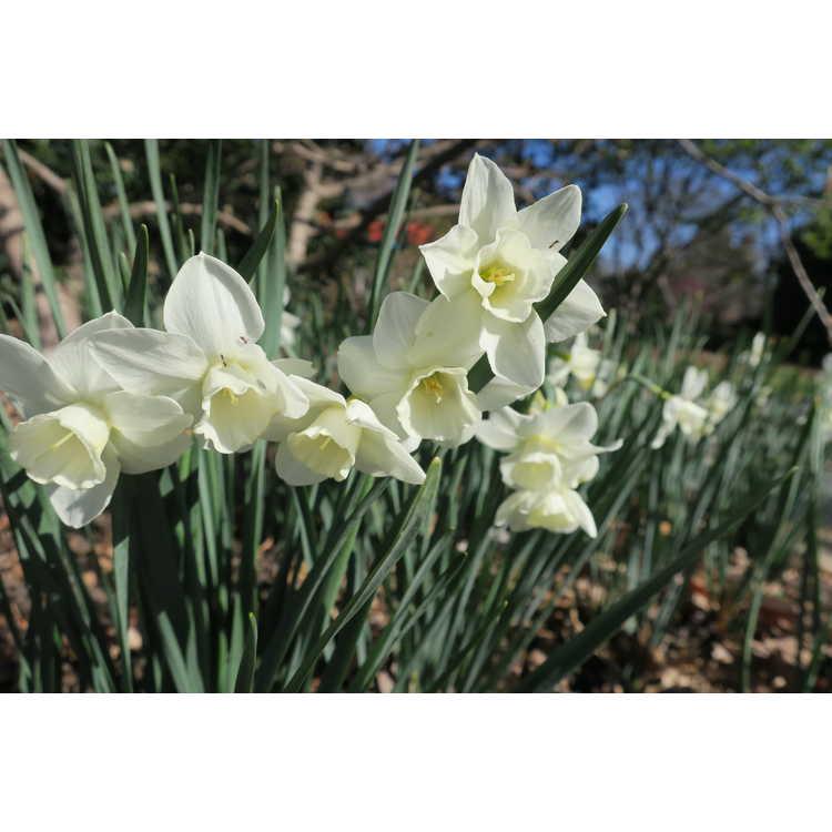 Narcissus 'Pueblo' - jonquilla daffodil