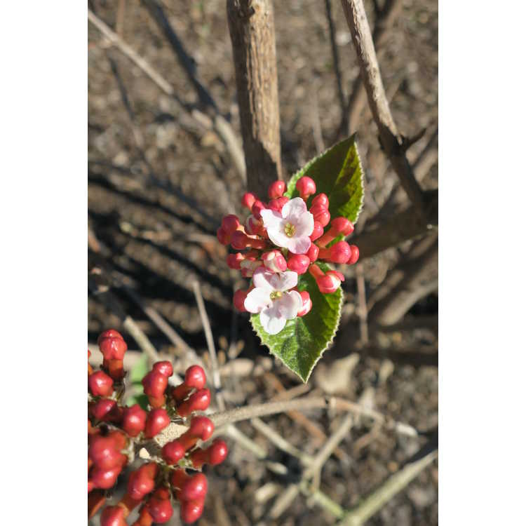 Viburnum carlesii Spiro Spice Girl