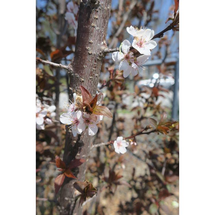 Prunus cerasifera 'Cripoizam' - Crimson Pointe fastigiate purple-leaf plum