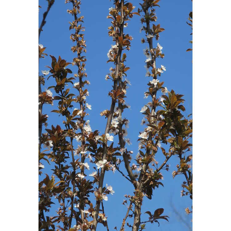 Prunus cerasifera 'Cripoizam'