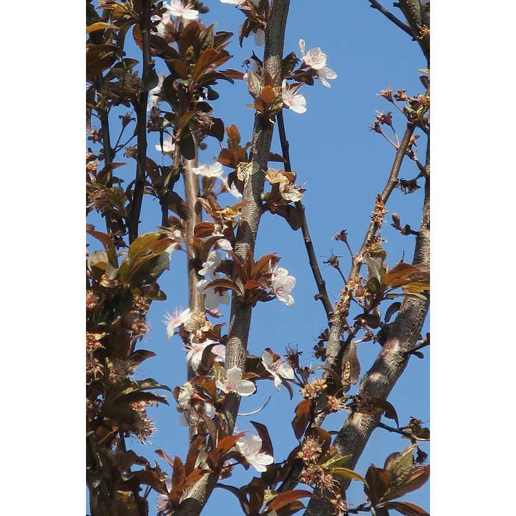 Prunus cerasifera Cripoizam Crimson Pointe