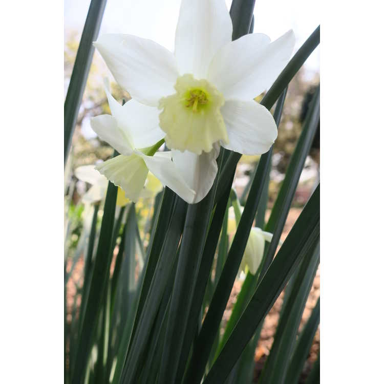 Narcissus Tresamble
