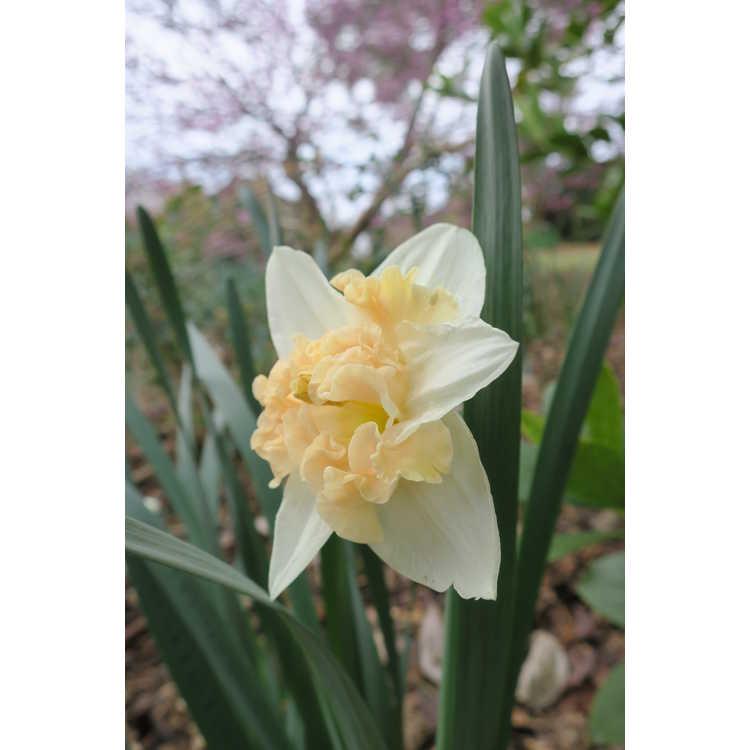 Narcissus 'Paradise Island' - collar daffodil