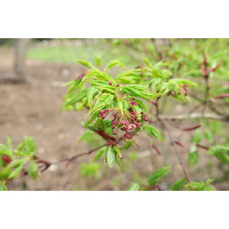 Acer palmatum Seiun kaku