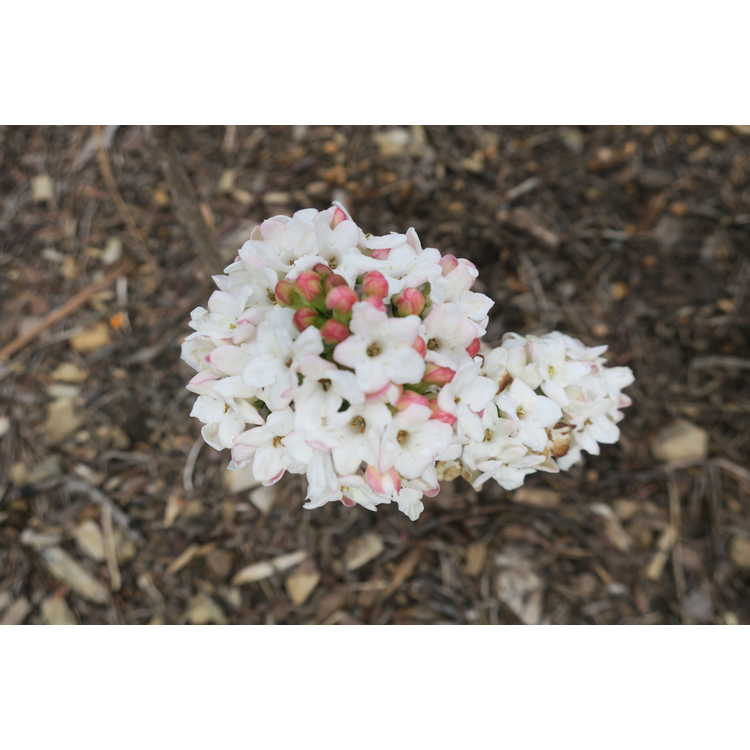 Viburnum burkwoodii Duvone American Spice