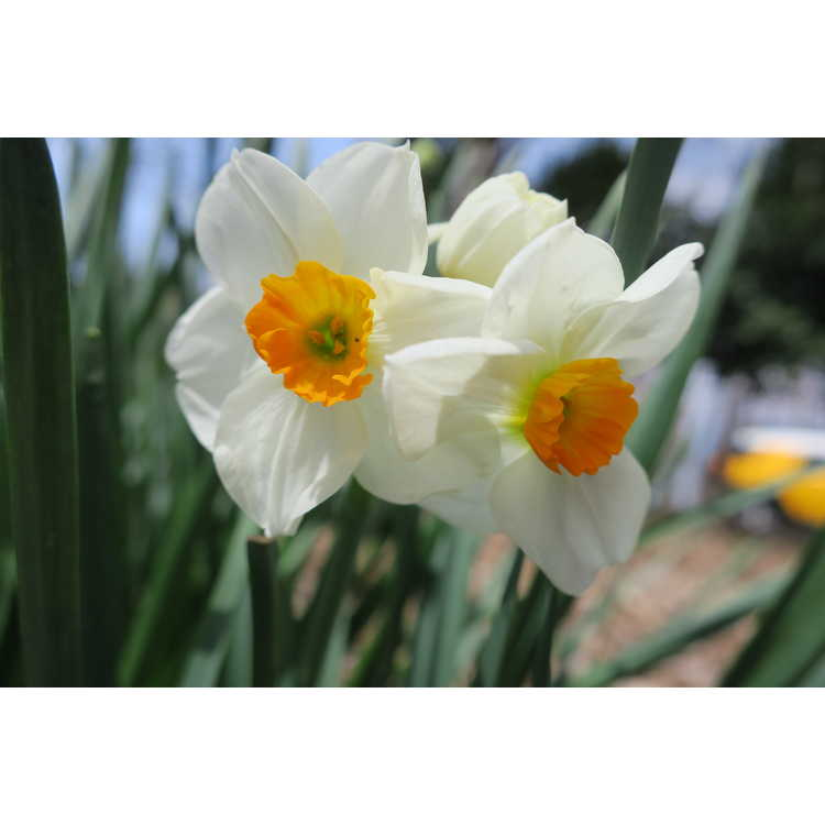 Narcissus 'Sir Winston Churchill' - double daffodil