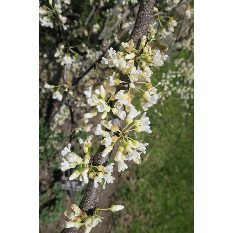 Cercis canadensis 'Vanilla Twist' - weeping white-flowered redbud