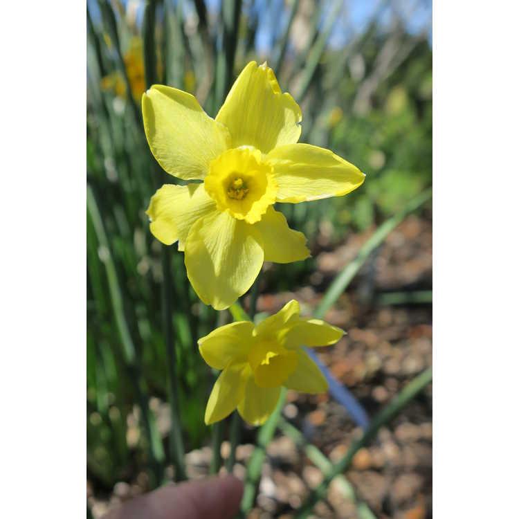 Narcissus Trevithian