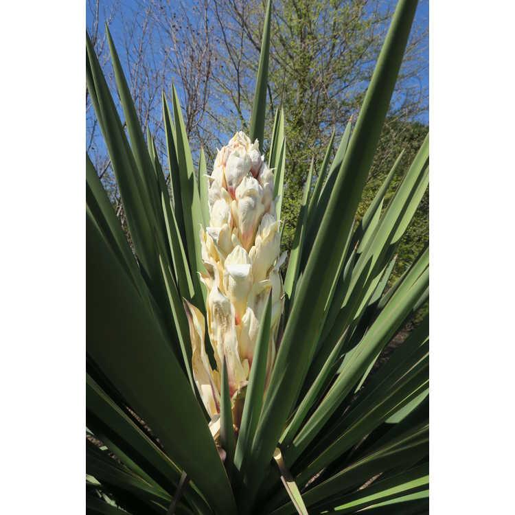 Yucca treculeana canaliculata