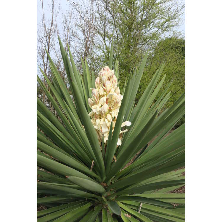 Yucca treculeana var. canaliculata