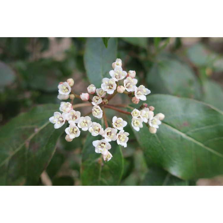 Viburnum tinus 'Spring Bouquet' - laurustinus