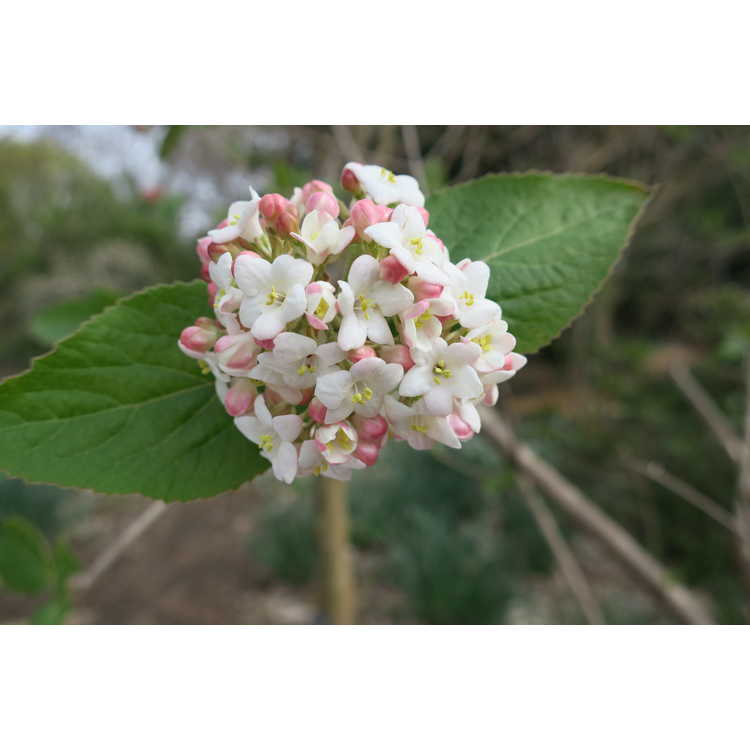 Viburnum ×carlcephalum - fragrant viburnum
