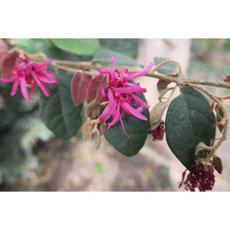 Loropetalum chinense var. rubrum 'Blush'