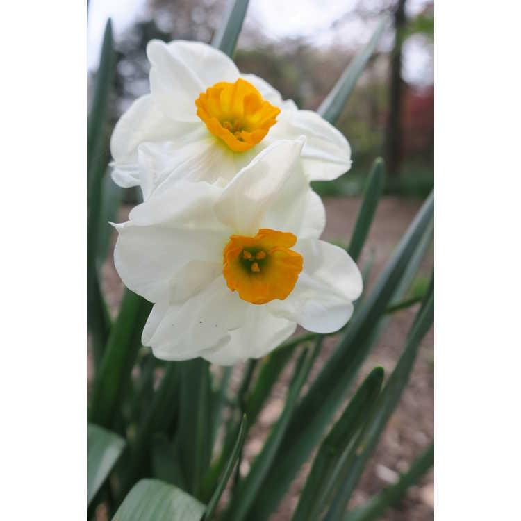 Narcissus 'Westward' - double daffodil