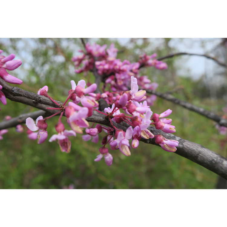 Cercis canadensis 'Cascading Hearts'