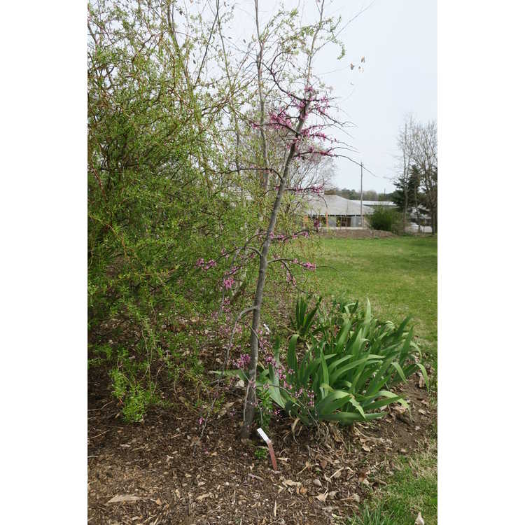 Cercis canadensis 'Cascading Hearts' - weeping eastern redbud
