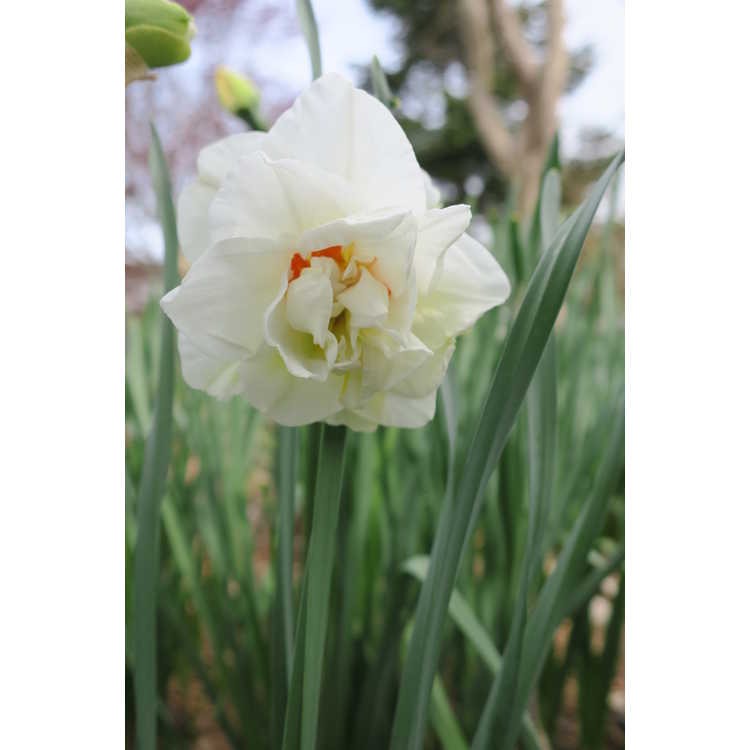 Narcissus 'Acropolis' - double daffodil