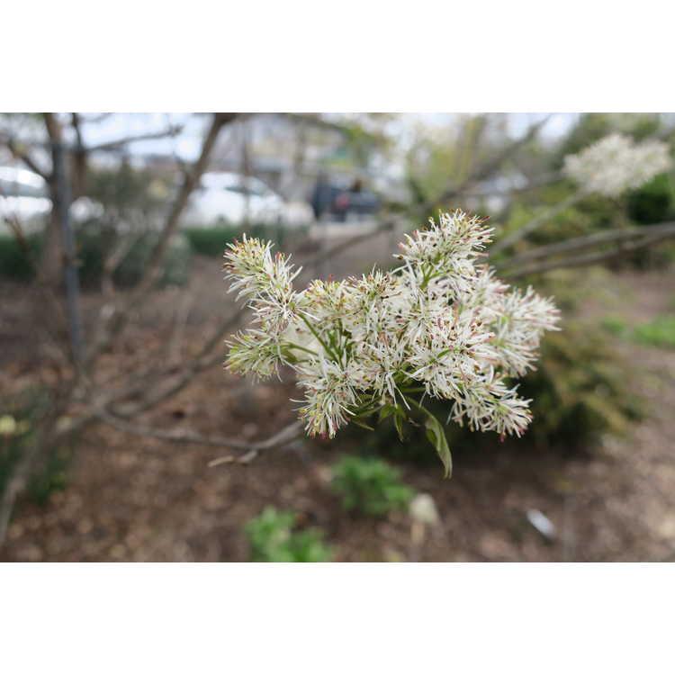 Fraxinus sieboldiana