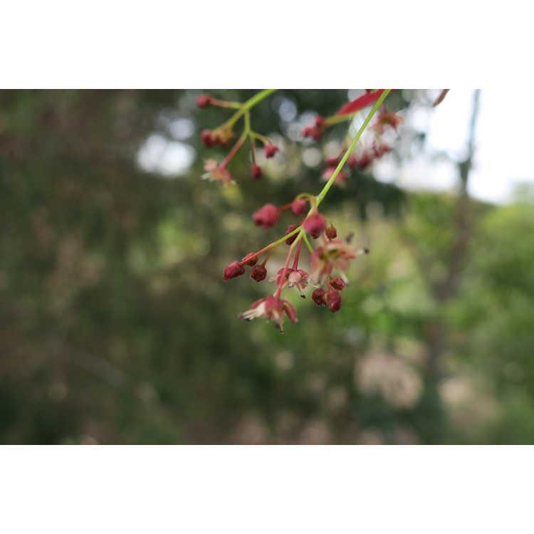 Acer palmatum Asahi Zuru