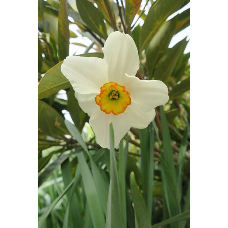 Narcissus 'Goose Green'