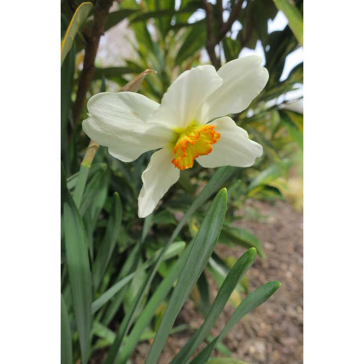 Narcissus Goose Green