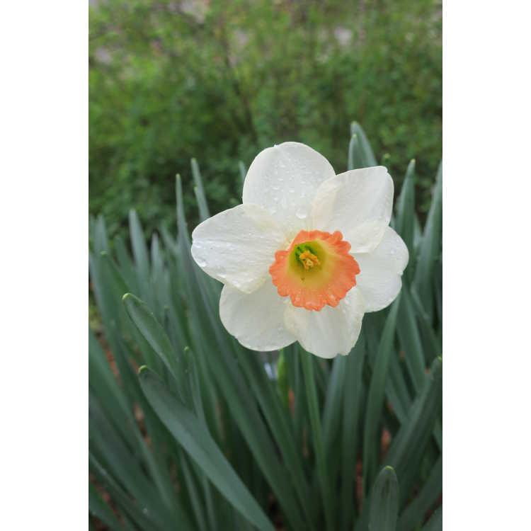 Narcissus Fragrant Rose