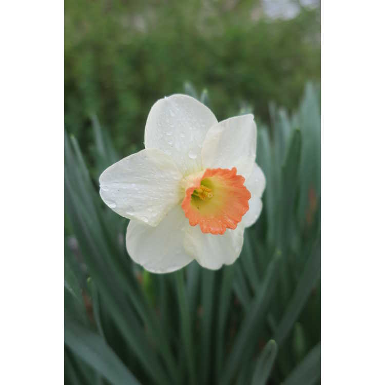 Narcissus 'Fragrant Rose' - large-cupped daffodil