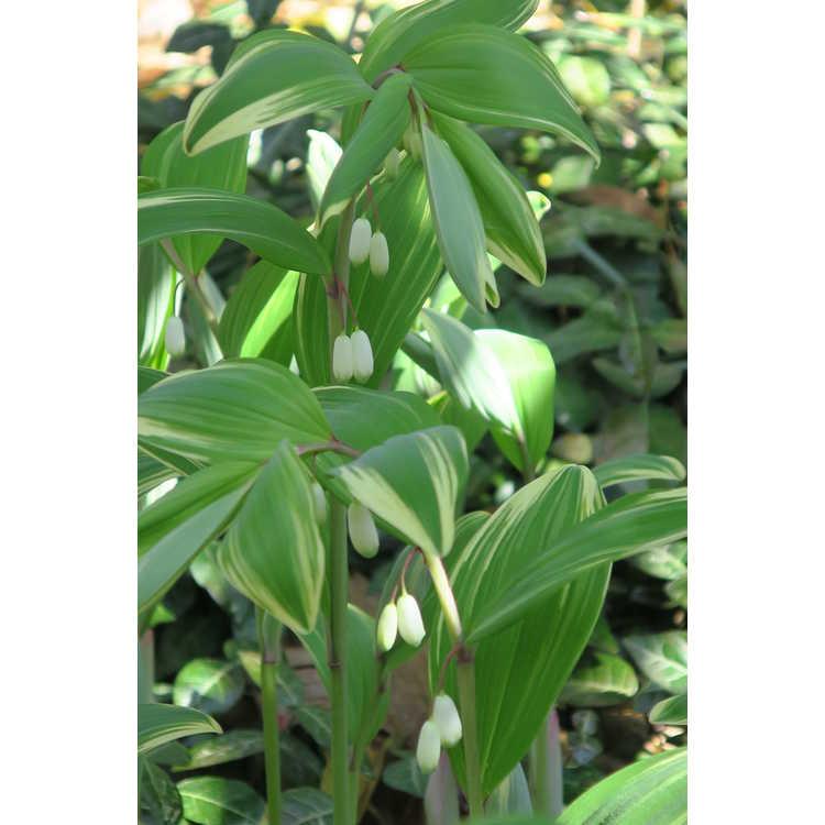 Polygonatum odoratum pluriflorum Variegatum