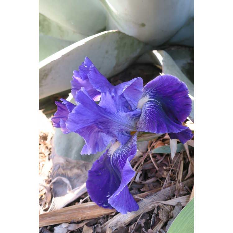 Iris Daughter of Stars
