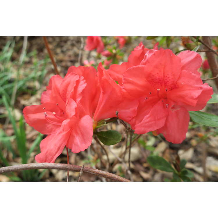 Rhododendron 'Kumo-no-ito' - Satsuki hybrid azalea