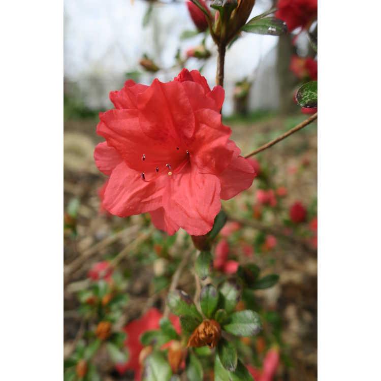 Rhododendron 'Kumo-no-ito'
