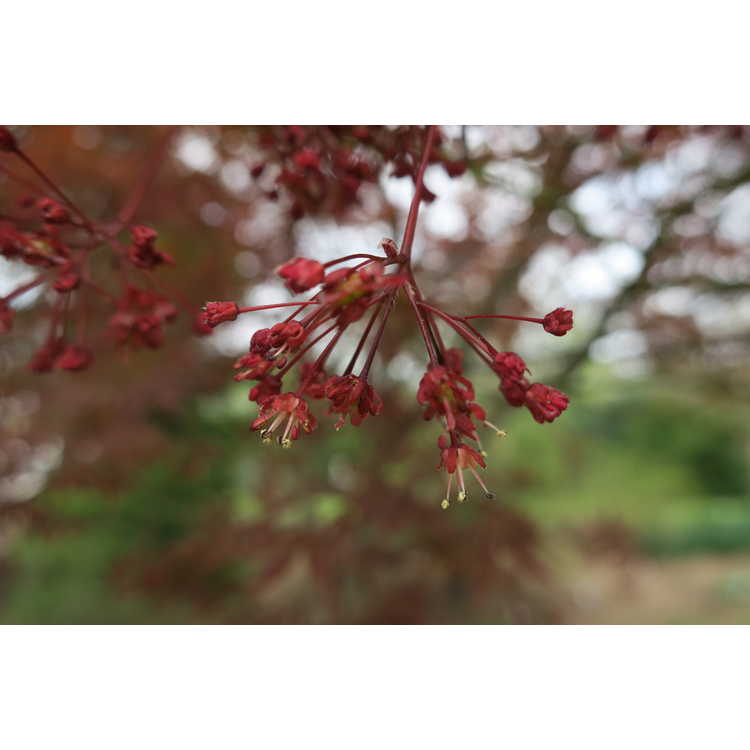 Acer palmatum 'Sumi Nagashi' - purple-leaf Japanese maple
