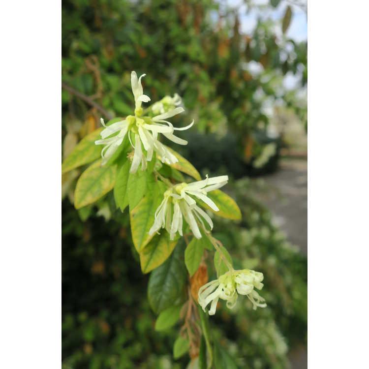Loropetalum chinense 'Tokyo Weeping' - weeping Chinese fringe-flower