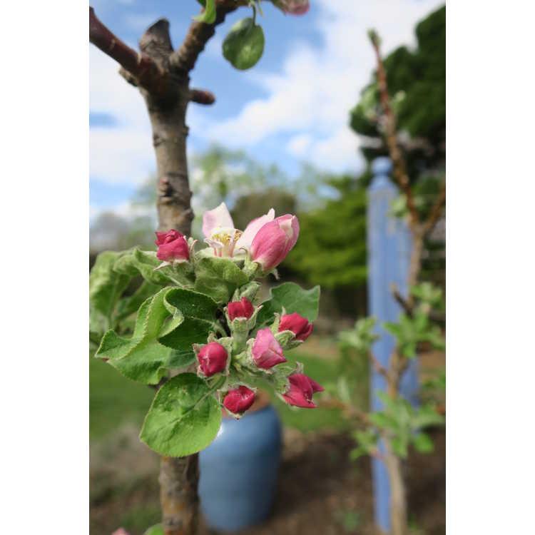 Malus 'Ueb 3812-2' - Tangy Green columnar apple