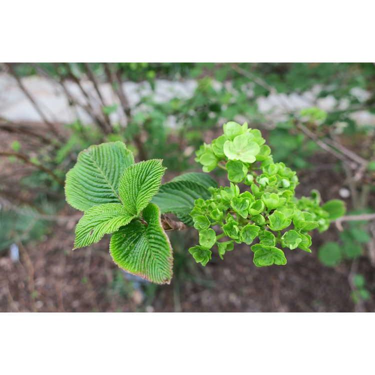 Viburnum plicatum Sawtooth